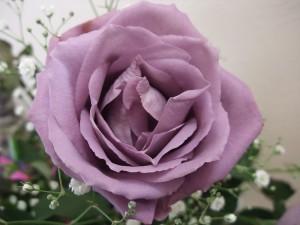 lilla roos
